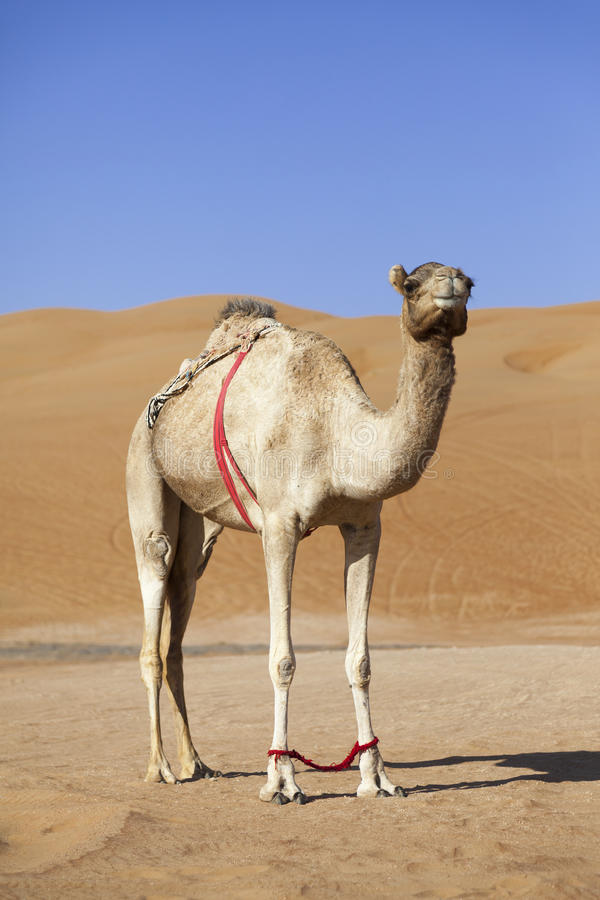 Download Camel In The Desert Of Oman Stock Images - Image: 36694724