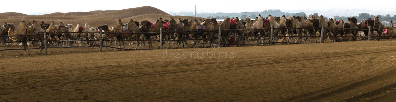 Camel and desert in the rain stock images
