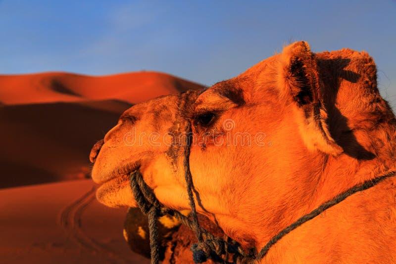 Camel Desert Sunset Stock Images - Download 4,933 Royalty ...