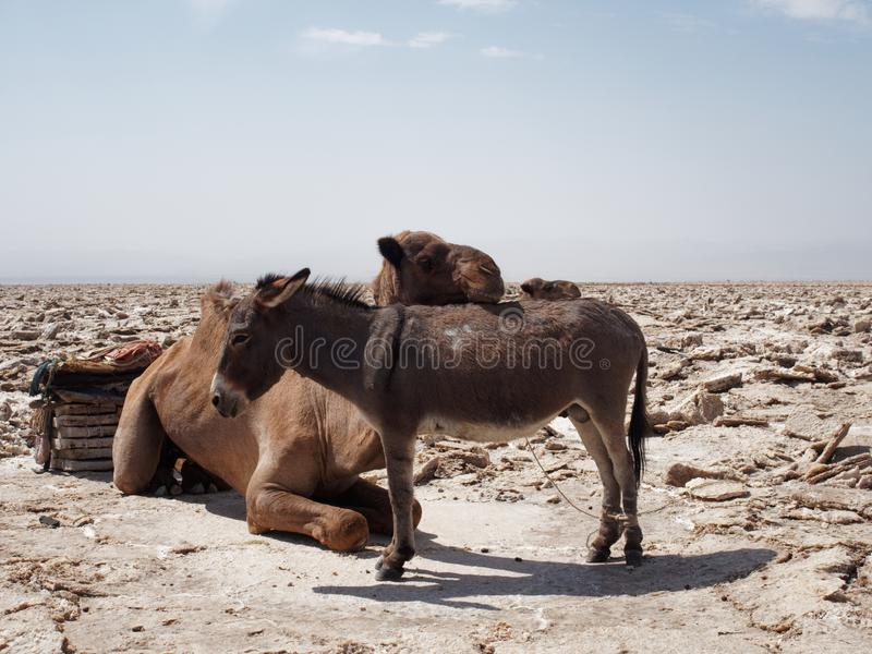Camel and donkey in the desert stock photos