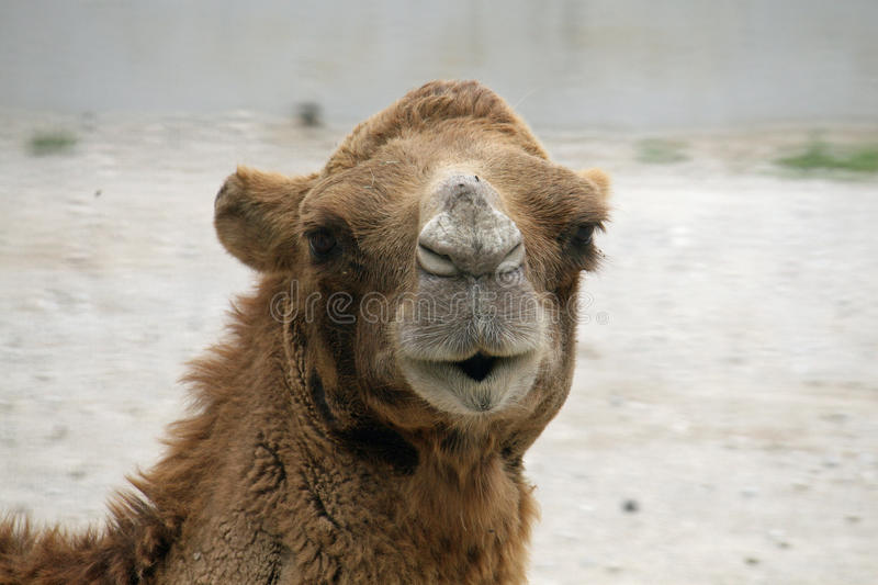 Camel or a Dromedary with tuft of brown hair. Head of a camel or a Dromedary with tuft of brown hair royalty free stock image