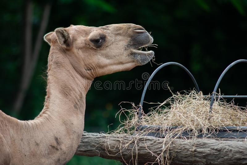 Camel. Dromedary camel is eating hay stock photo