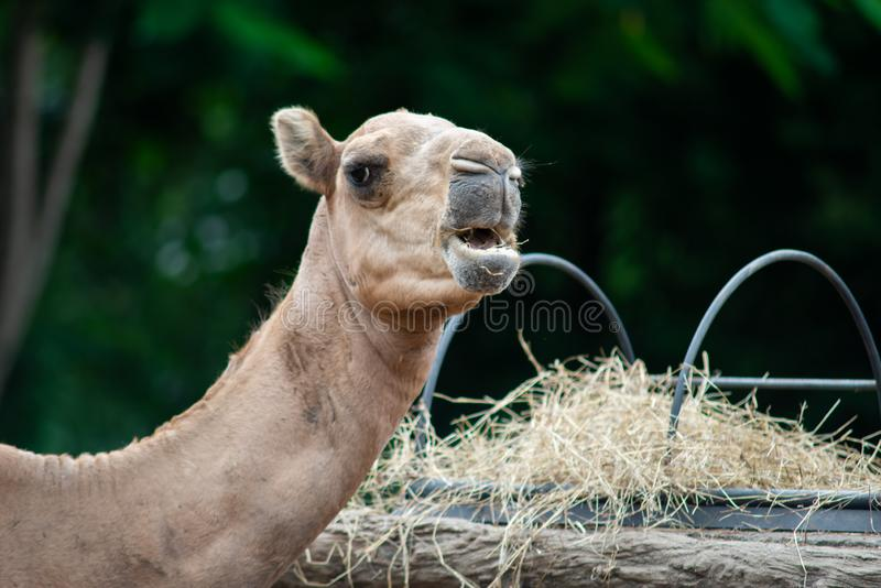 Camel. Dromedary camel is eating hay stock images