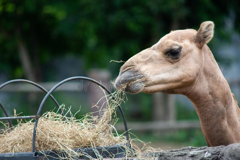 Camel. Dromedary camel is eating hay stock image