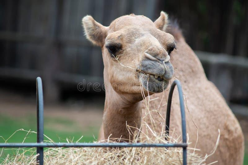 Camel. Dromedary camel is eating hay stock photos