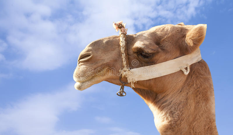 Download Camel face stock image. Image of egypt, camels, closeup - 21996839