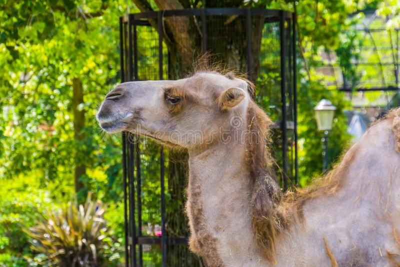 Camel face in closeup, popular animal used for travel, pet and zoo animals. A camel face in closeup, popular animal used for travel, pet and zoo animals stock photography
