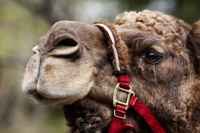 Camel face with rein stock photo