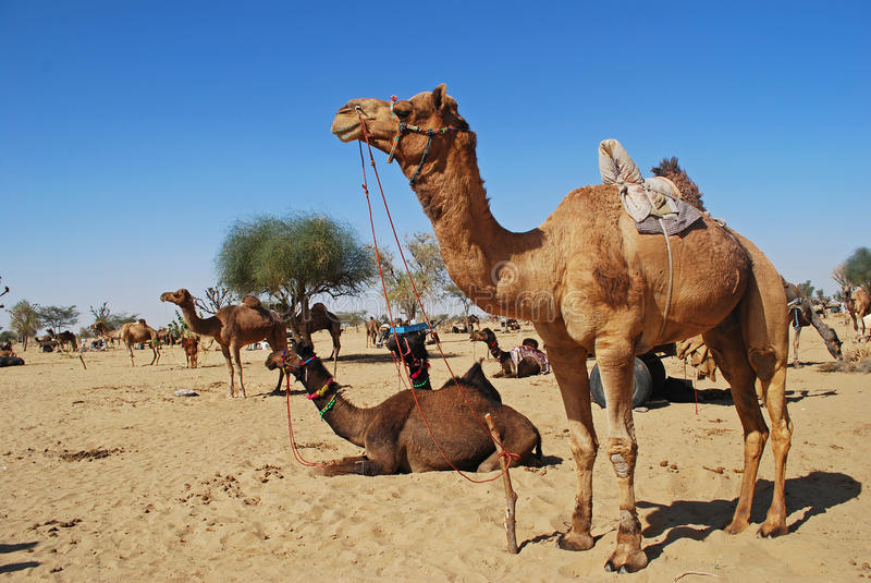 Camel Fair royalty free stock photography