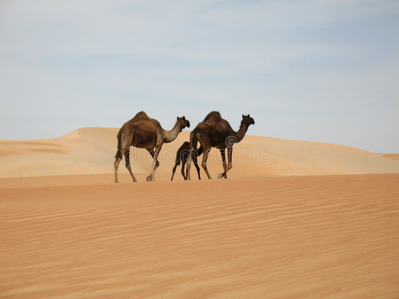 Camel family stock photos
