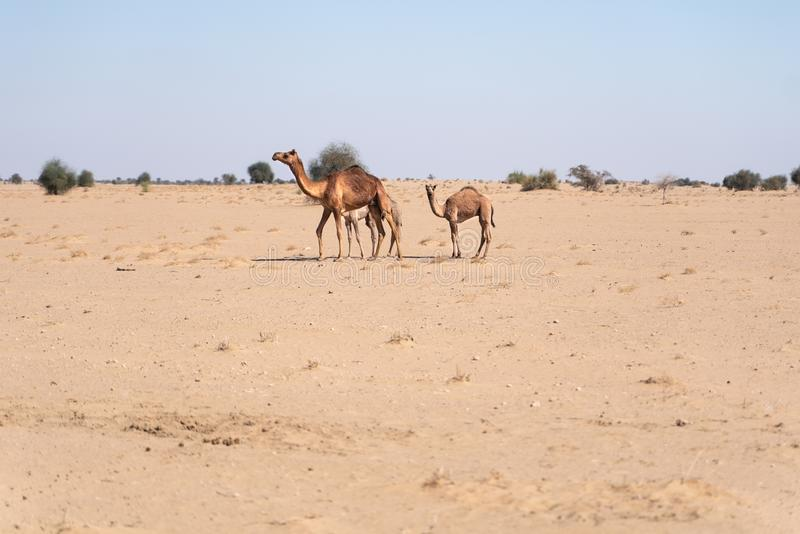 Camel family in indian desert royalty free stock image