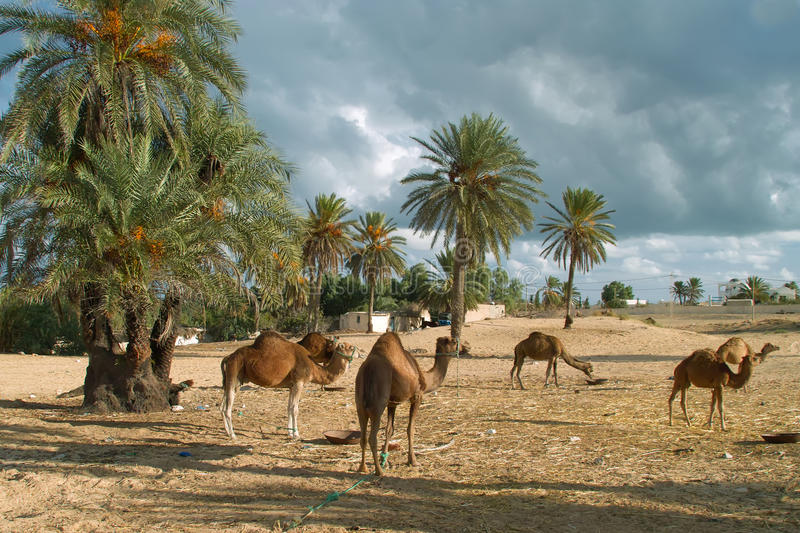 Camel farm on DJerba. Inside Djerba Island - Tunis predominant sandy soil where there is very little vegetation. In spite of the difficult conditions Kamila is royalty free stock images