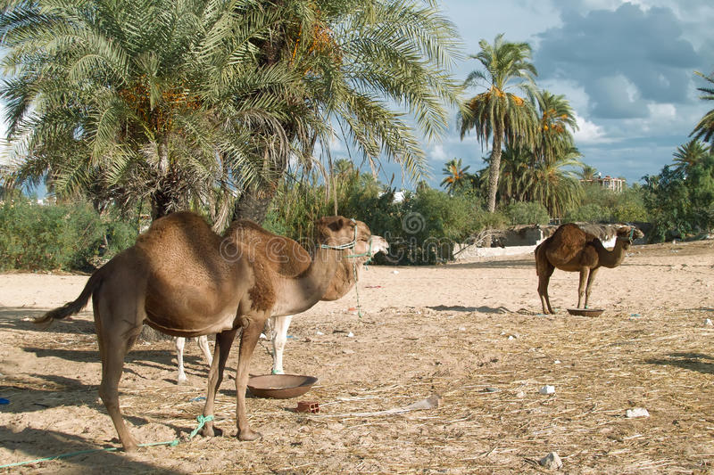 Camel farm on DJerba. Inside Djerba Island - Tunis predominant sandy soil where there is very little vegetation. In spite of the difficult conditions Kamila is royalty free stock photo