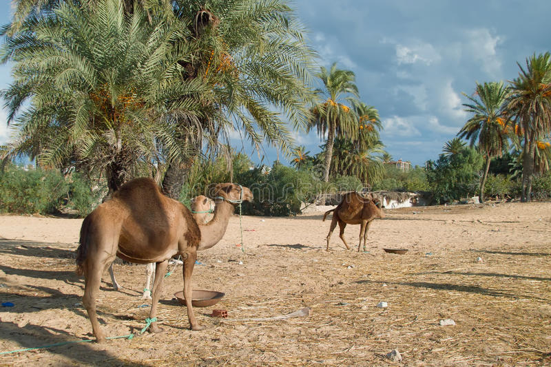 Camel farm on DJerba. Inside Djerba Island - Tunis predominant sandy soil where there is very little vegetation. In spite of the difficult conditions Kamila is royalty free stock image