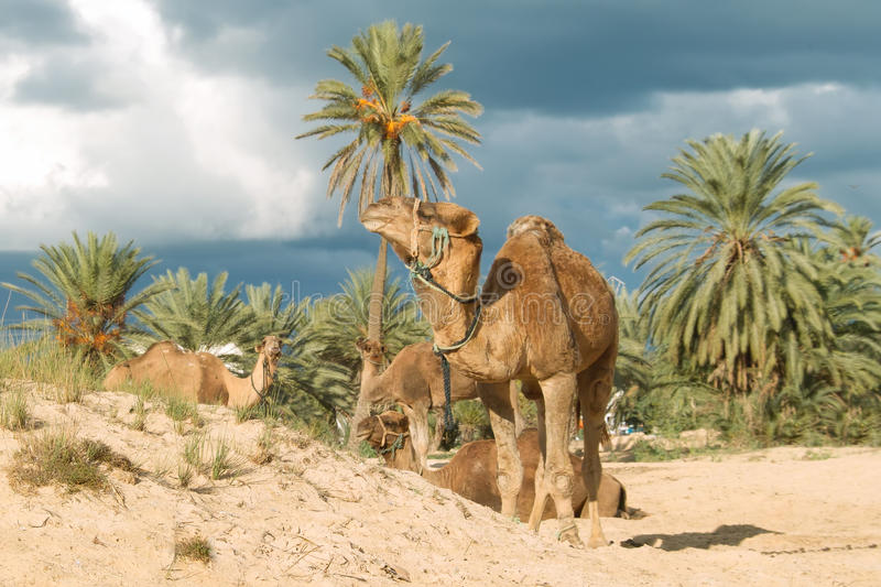 Camel farm on DJerba. Inside Djerba Island - Tunis predominant sandy soil where there is very little vegetation. In spite of the difficult conditions Kamila is stock photography