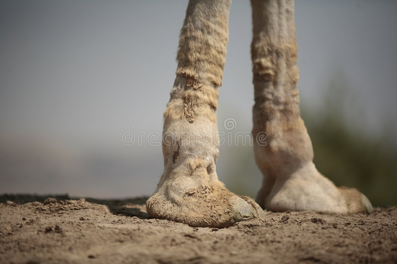 Camel and feet stock photography