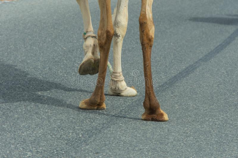 Camel feet close-up as it crosses the street in Ras al Khaimah, United Arab Emirates stock images