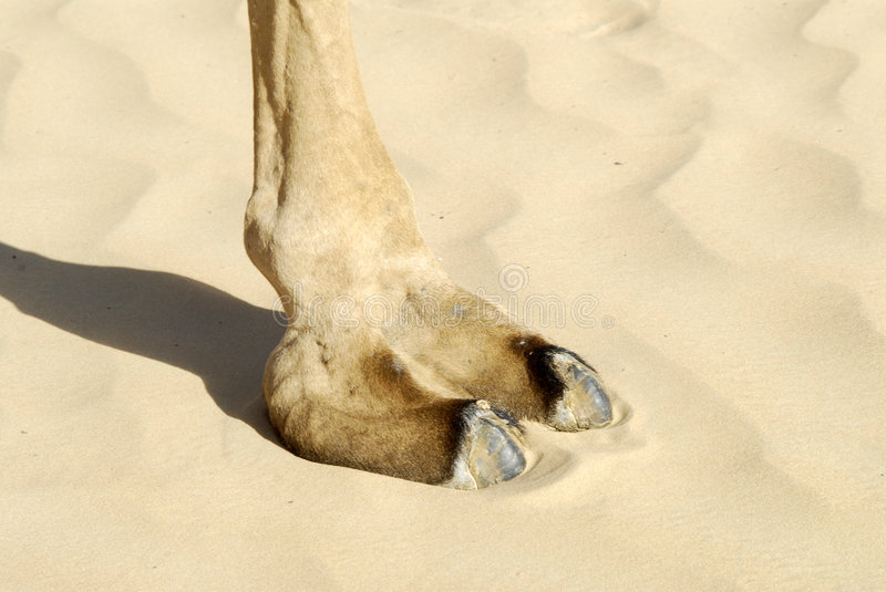 Camel footprint. On the sand royalty free stock photo