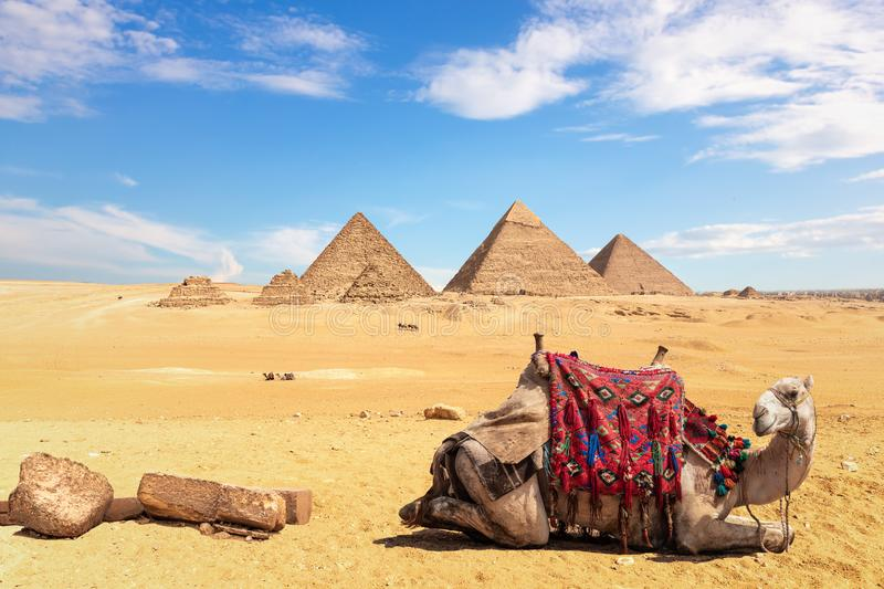 A camel in front of the Egyptian Pyramids, Giza, Egypt. Africa, ancient, animal, architecture, bedouin, building, cairo, cheops, chephren, civilization stock photo