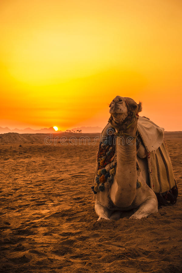 Camel in front of sunset. In Hurghada/Makadi Bay, Egypt stock photos