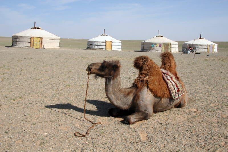 Camel in the Gobi Desert. Camel in front of nomadic housing in the Gobi Desert Mongolia royalty free stock photo