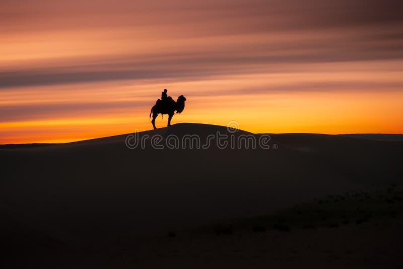 Camel going through the sand dunes on sunrise, Gobi desert Mongolia.  royalty free stock photo