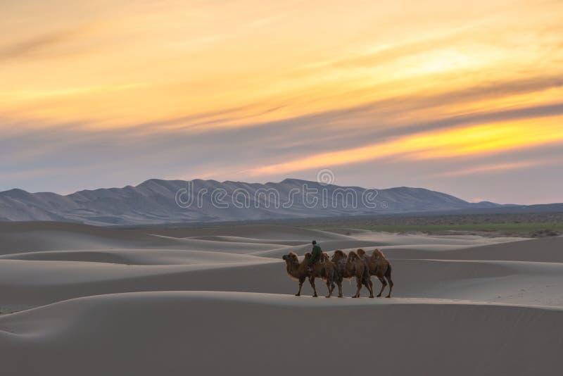 Camel going through the sand dunes on sunrise, Gobi desert Mongolia.  stock photos