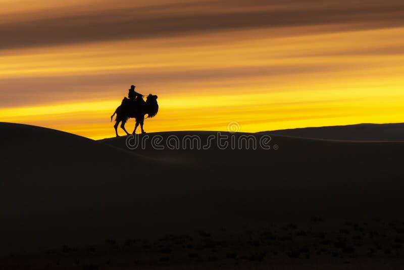 Camel going through the sand dunes on sunrise, Gobi desert Mongolia.  stock photography