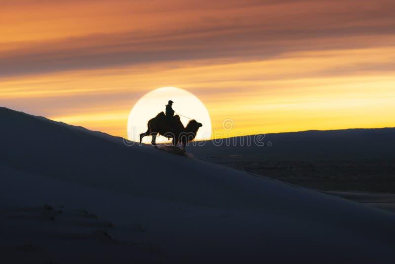 Camel going through the sand dunes on sunrise, Gobi desert Mongolia.  stock images