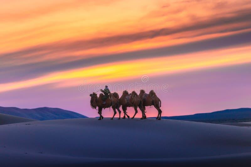 Camel going through the sand dunes on sunrise, Gobi desert Mongolia.  stock photo
