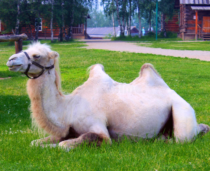 Camel on the grass stock photo