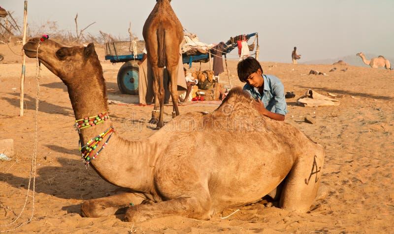 Camel grooming at Pushkar royalty free stock photos