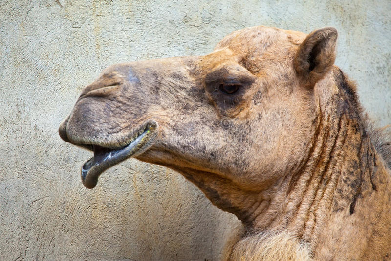 Download Camel head stock photo. Image of dromedary, ride, wild - 19706548