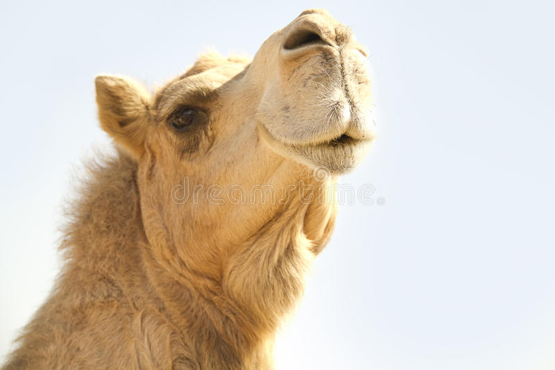 Camel Head 1 stock images