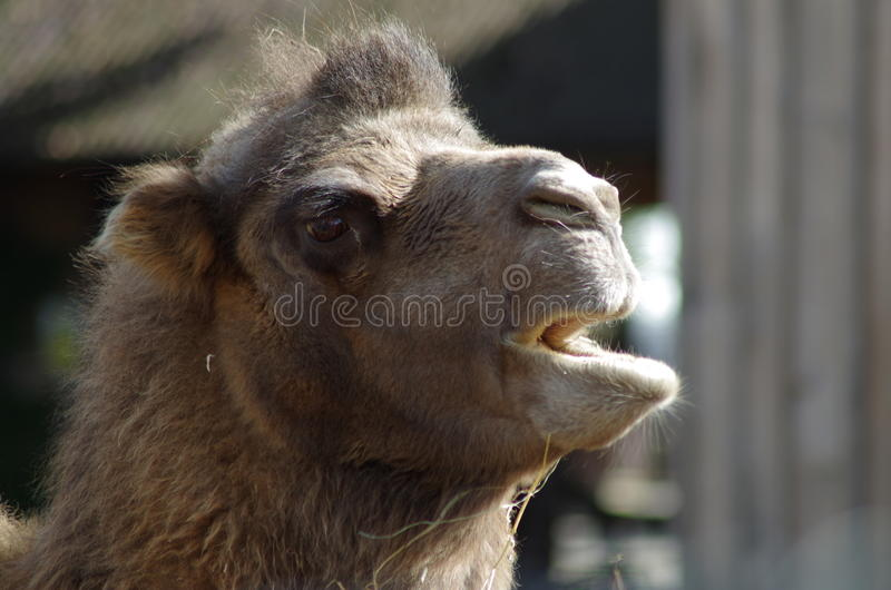 Camel Head Close-Up royalty free stock photography