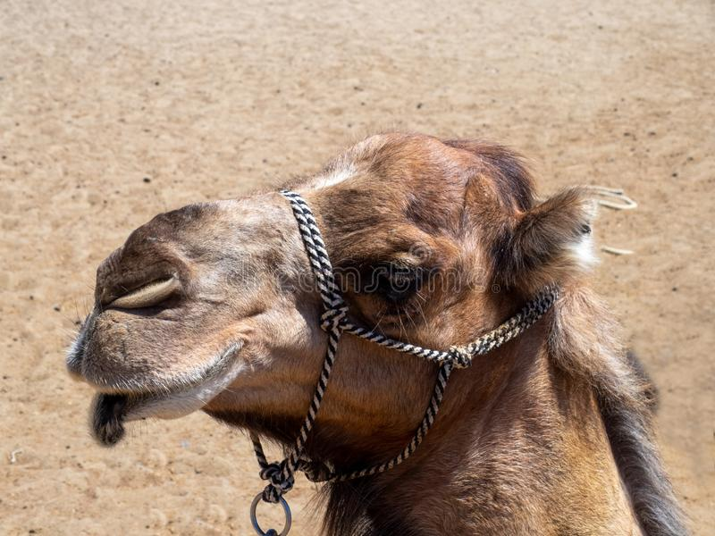 Camel Head in Gran Canaria island, Spain. Camel head from in Maspalomas sand dunes, Gran Canaria island, Spain stock image