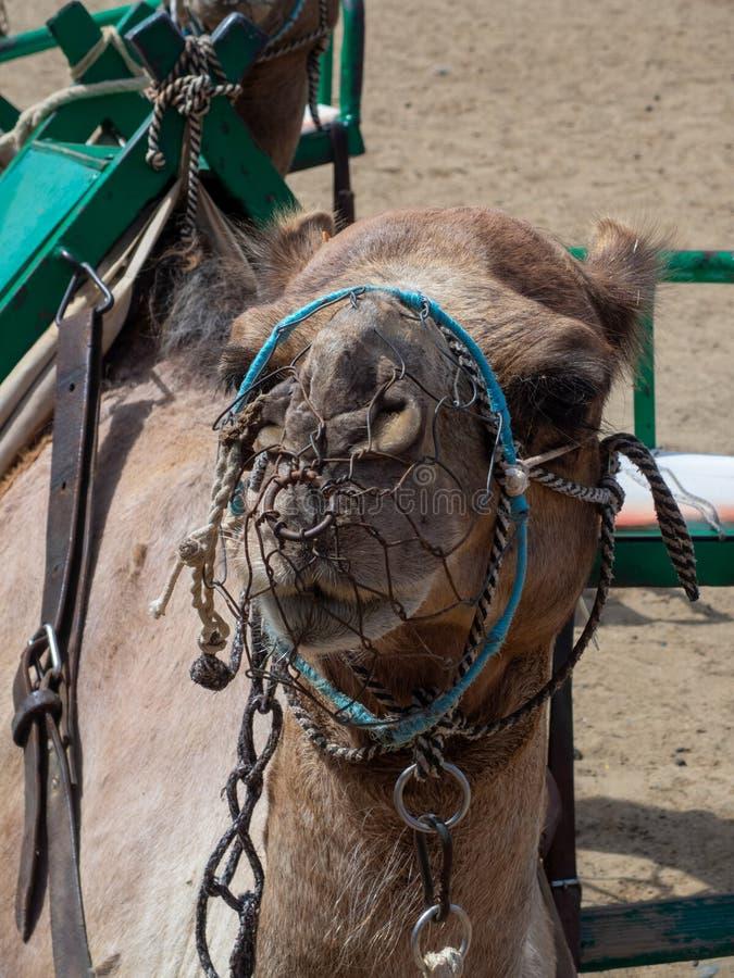 Camel Head in Gran Canaria island, Spain. Camel head from in Maspalomas sand dunes, Gran Canaria island, Spain stock photography