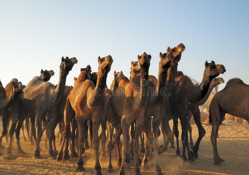Camel herd stock photo