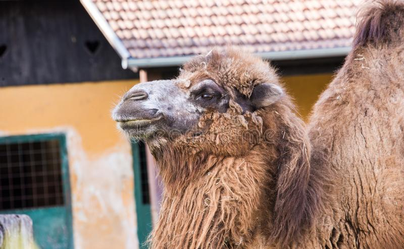 Camel in his natural habitat close up. A camel is an even-toed ungulate in the genus Camelus that bears distinctive fatty deposits known as `humps` on its back royalty free stock photo