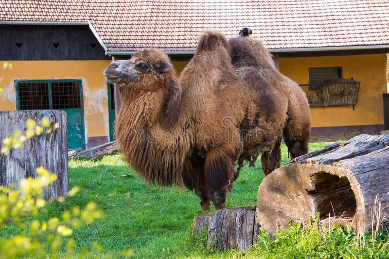 Camel in his natural habitat. A camel is an even-toed ungulate in the genus Camelus that bears distinctive fatty deposits known as `humps` on its back. Camels stock image