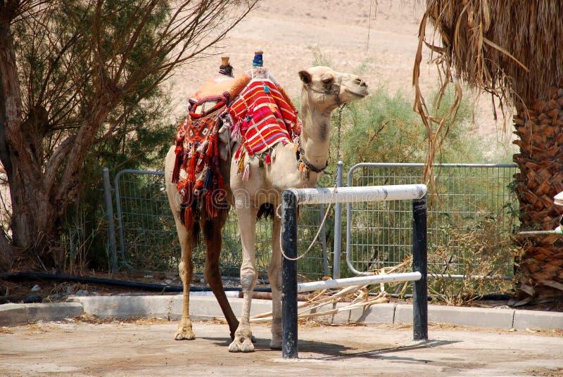Camel in Israel kibbutz royalty free stock photo