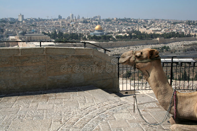 Camel and Jerusalem royalty free stock image