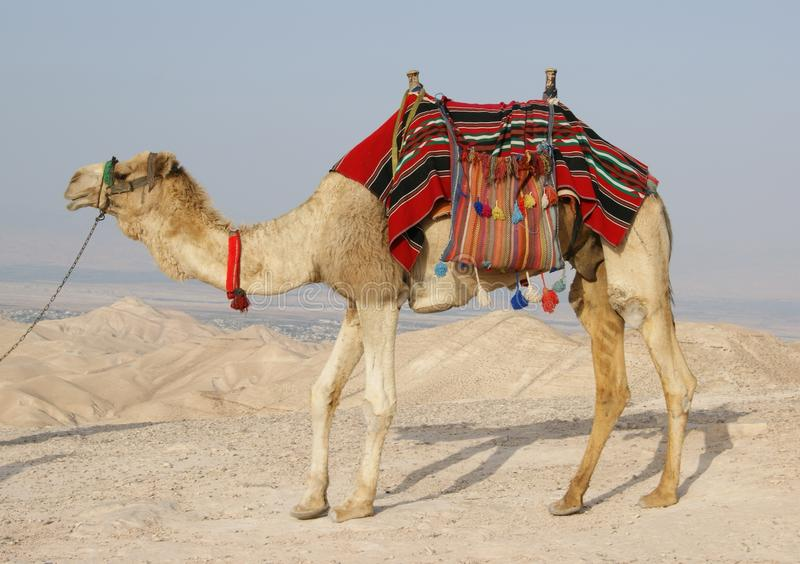 Download Camel In Judean Desert, Israel Stock Photo - Image: 20157926