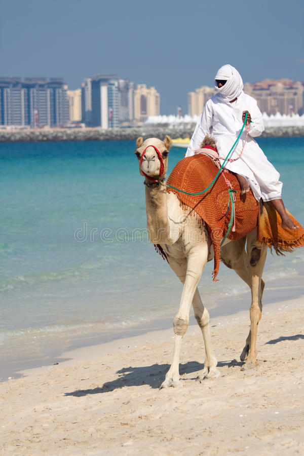 Camel on Jumeirah Beach, Dubai royalty free stock photography