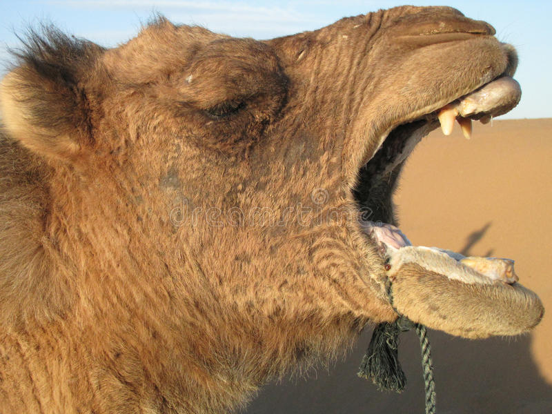 Camel Laughing royalty free stock photo
