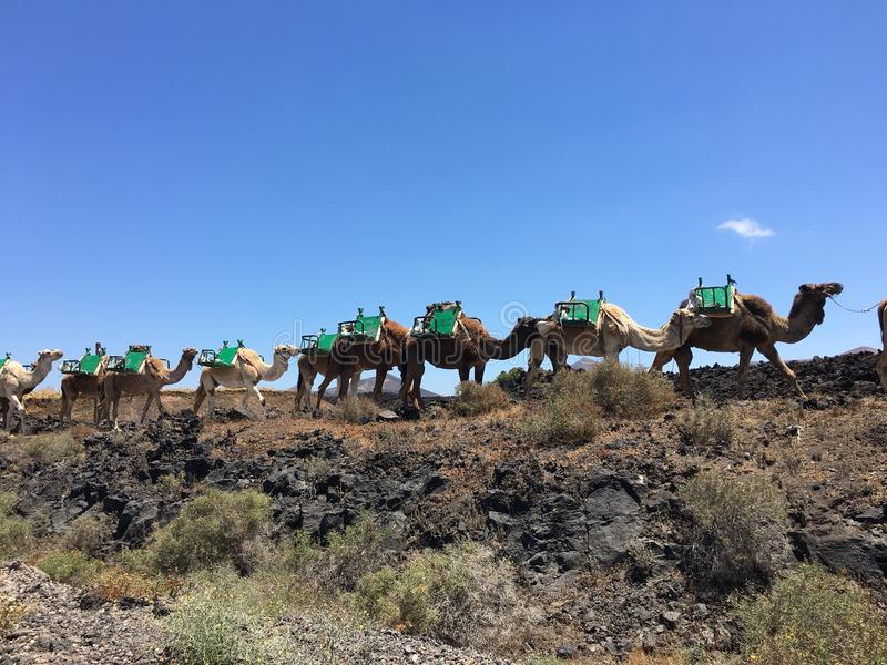 camel line tour royalty free stock image