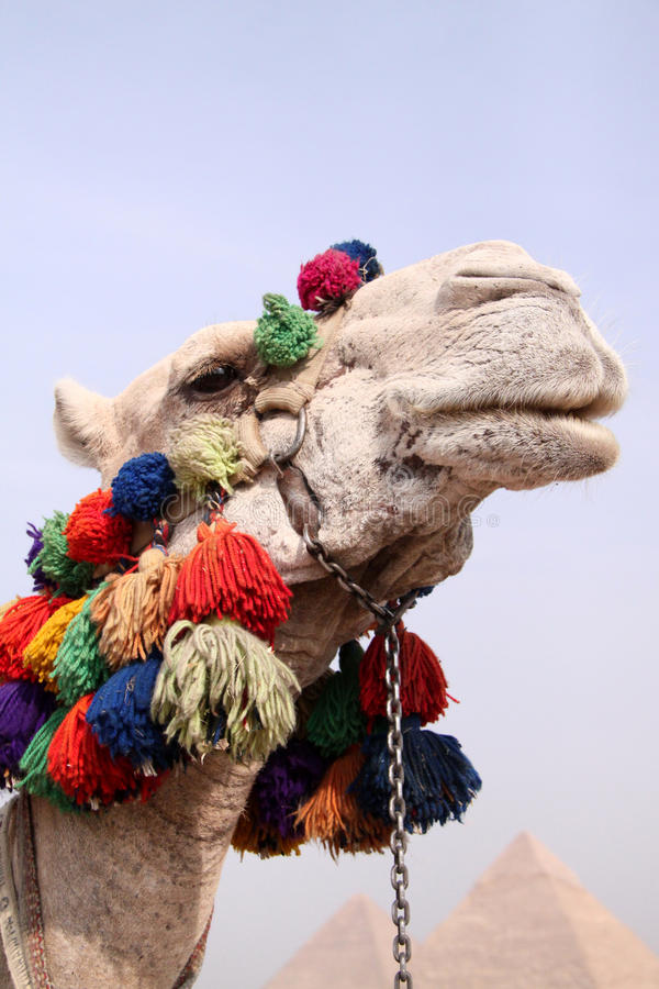 Camel Looking Stock Photo