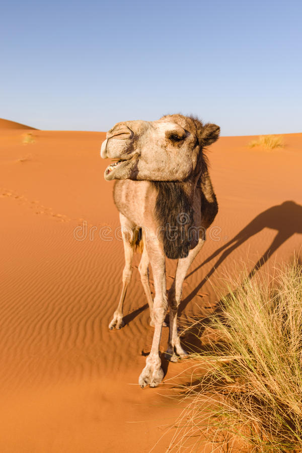 Camel looks like it is laughing, Erg Chebbi, Morocco stock photo