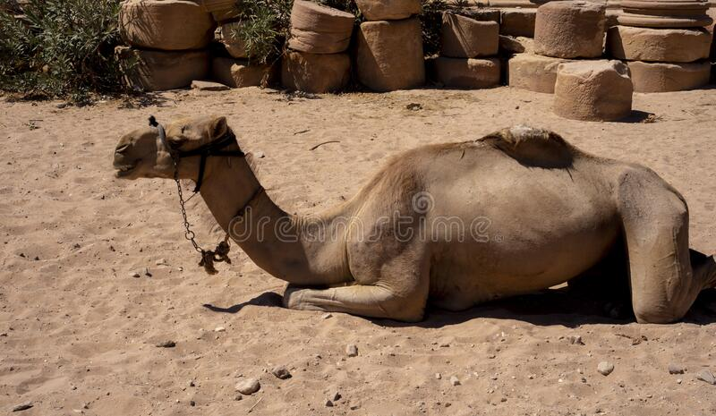 The camel in the Lost City of Petra.  royalty free stock photo