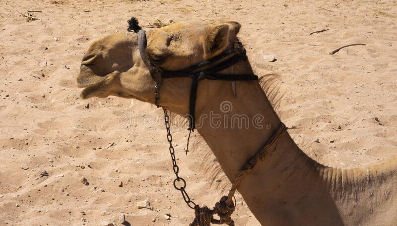 The camel in the Lost City of Petra.  royalty free stock photography